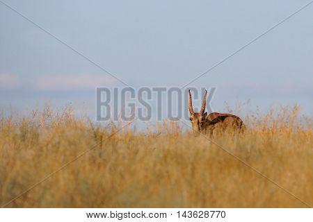 Critically endangered wild female Saiga antelope (Saiga tatarica) in steppe. Federal nature reserve Mekletinskii Kalmykia Russia August 2015