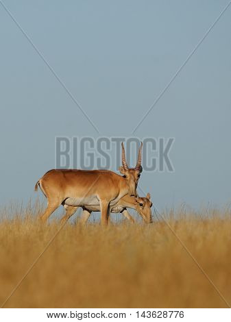 Critically endangered wild Saiga antelopes (Saiga tatarica male and female) in steppe. Federal nature reserve Mekletinskii Kalmykia Russia August 2015