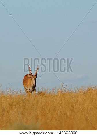 Critically endangered wild male Saiga antelope (Saiga tatarica) in morning steppe. Federal nature reserve Mekletinskii Kalmykia Russia August 2015