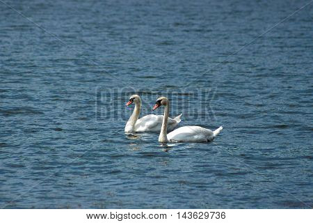 A pair of white swans on a lake