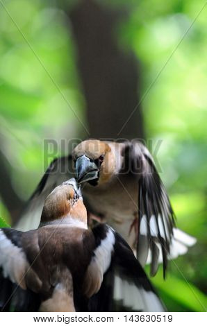 Two male hawfinches (Coccothraustes coccothraustes) battle in flight. Moscow region Russia
