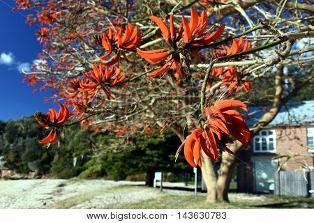 Beautiful coral trees blooming in winter time on the beach (Sydney Australia)