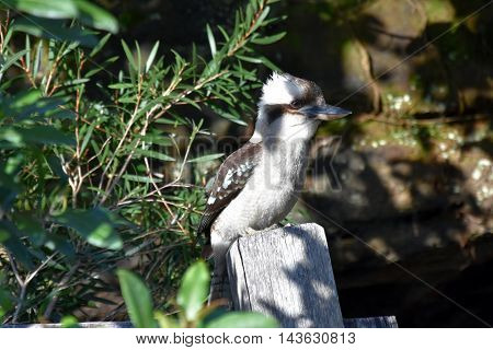 A laughing kookaburra sitting on a stub