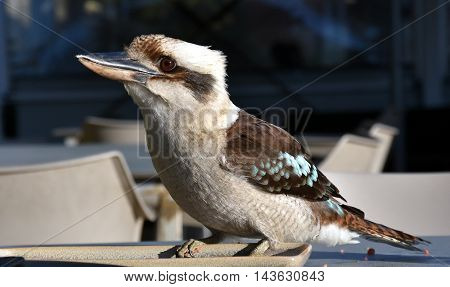 A friendly laughing kookaburra sitting on a plate