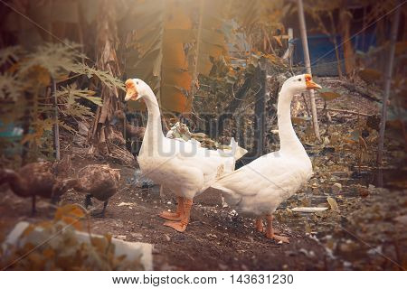 white goose fantasy effects applied sun light in soft focus