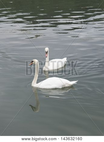 Two white swans on the lake in an autumn.