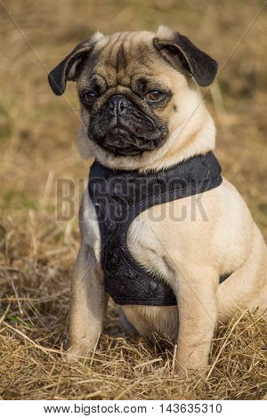 Portrait of a male Pug puppy sitting in local park, Liverpool, England