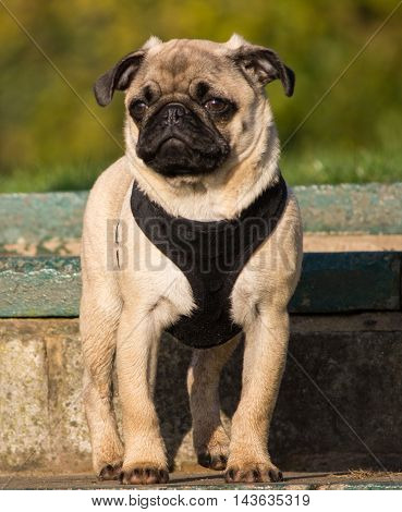 Male Pug puppy standing on steps in local park, Liverpool, England