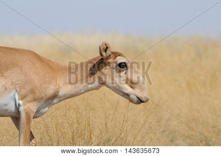 Wild female Saiga antelope (Saiga tatarica) in morning steppe. Federal nature reserve Mekletinskii Kalmykia Russia August 2015
