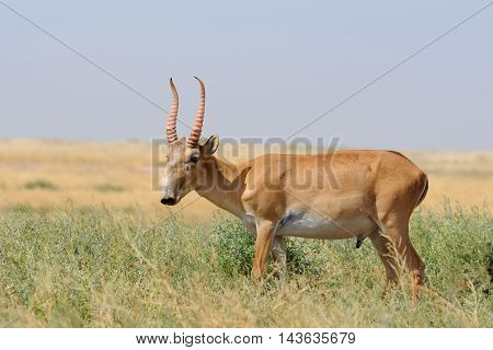Wild male Saiga antelope (Saiga tatarica) in morning steppe. Federal nature reserve Mekletinskii Kalmykia Russia August 2015