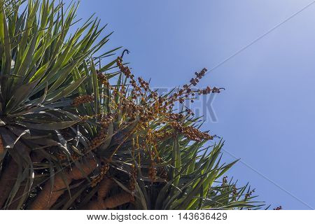 Small yellow berries on branch and cactus thorn leaves on blue sky background on sunny day