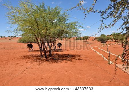 KALAHARI NAMIBIA - JAN 23 2016: Ostriches at Bagatelle Kalahari Game Ranch one from the most famous and popular place in Kalahari desert to stay and relax during safari