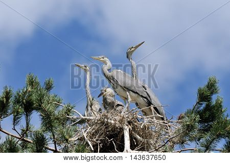 Four Grey Heron (Ardea cinerea) juvenile birds in the nest. National park Plesheevo Lake Yaroslavl region Russia