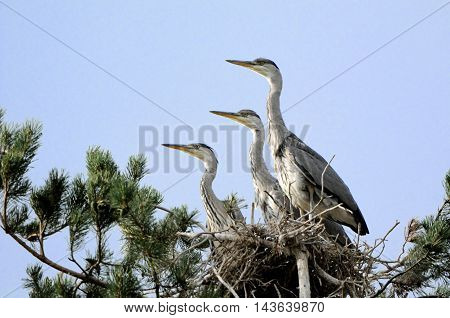 Three Grey Heron (Ardea cinerea) juvenile birds in the nest. National park Plesheevo Lake Yaroslavl region Russia