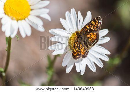 Batterfly On White Or Common Daisy Bellis Perennis Flower