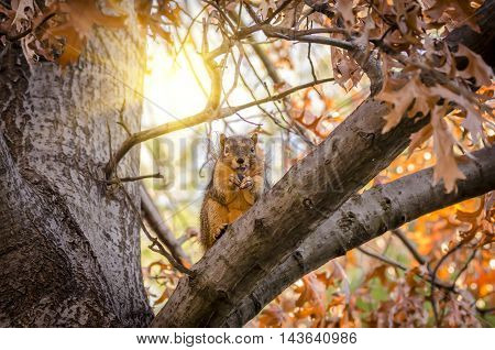 The squirrel sits on a tree and holds in paws nut.