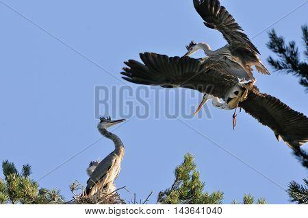 Adult bird and one Grey Heron (Ardea cinerea) chick fly to the nest. National park Plesheevo Lake Yaroslavl region Russia