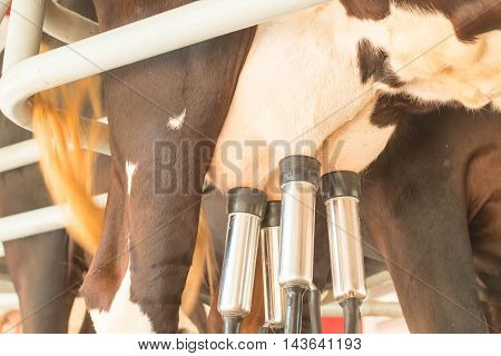 Cow milking facility and mechanized milking equipment