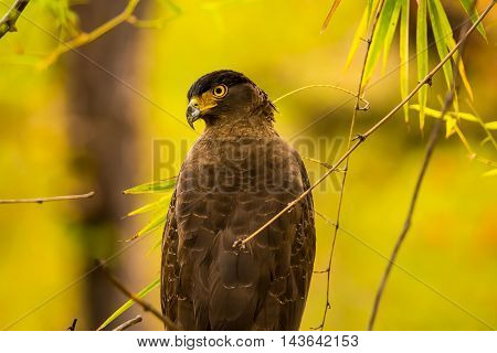 The crested serpent eagle is a medium-sized bird of prey that is found in forested habitats across tropical Asia.