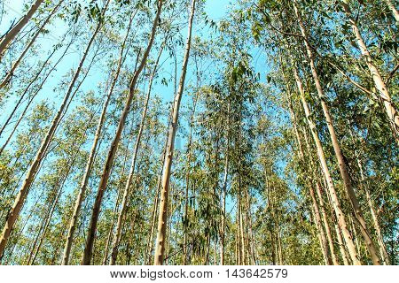 Eucalyptus trees in the forest, paper making, Thailand.