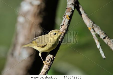 Perching Willow Warbler (Phylloscopus trochilus) at tree branch. Yaroslavl region Russia