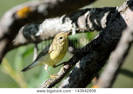 Perching bright Willow warbler in the forest