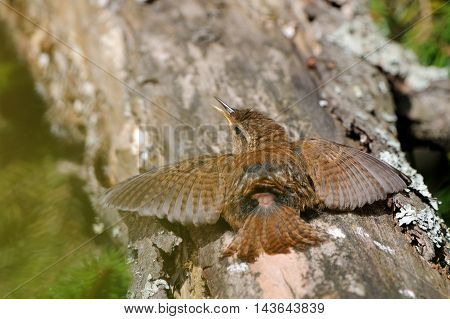 Sun bath of Wren (Troglodytes troglodytes) at tree trunk. Yaroslavl region Russia