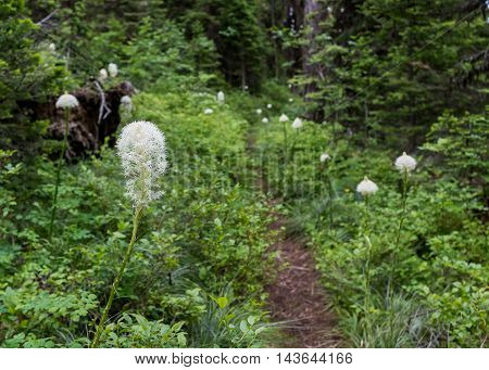 Bear Grass Flowers Along Over Grown Trail