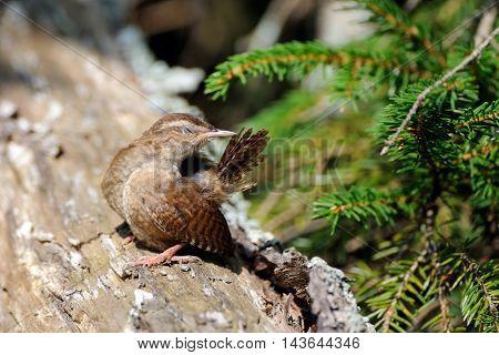 Wren (Troglodytes troglodytes) cleans a tail at tree trunk. Yaroslavl region Russia
