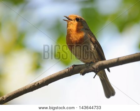 Singing Robin (Erithacus rubecula) in spring. Moscow region Russia