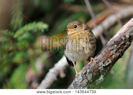Juvenile European Robin (Erithacus rubecula) perching at tree branch. Yaroslavl region Russia