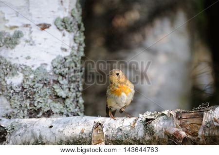 Perching European Robin (Erithacus rubecula) at birch trunk. Yaroslavl region Russia