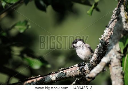 Crying Willow tit (Poecile montanus Parus montanus) in summer forest. Yaroslavl region Russia