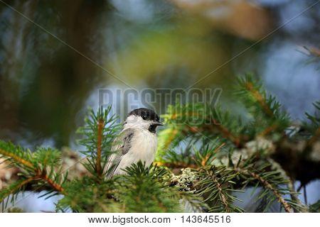 Perching Willow tit (Poecile montanus Parus montanus) at firtree. Yaroslavl region Russia