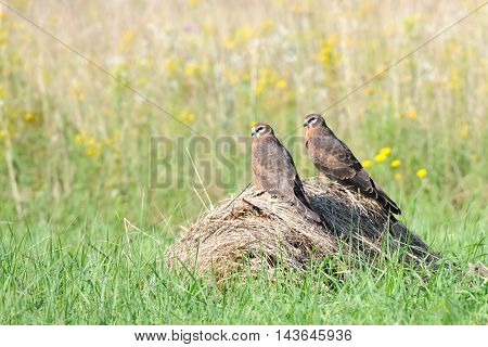 Two perching juvenile Montagus harriers (Circus pygargus) at the meadow. Kaluga region Russia