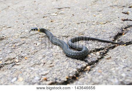 Snake on the road. grass snake. asphalt snake.