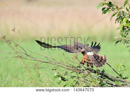 Juvenile Montagus harrier (Circus pygargus) take-off at the meadow. Kaluga region Russia