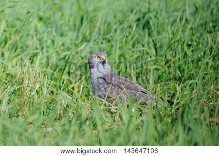 Male Montagus harrier (Circus pygargus) in the grass. Kaluga region Russia