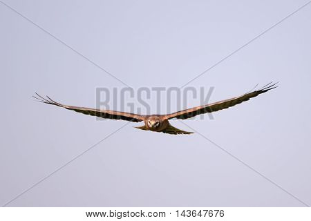 Flying juvenile Montagus harrier (Circus pygargus). Kaluga region Russia