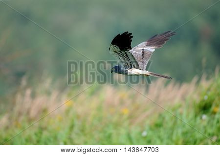 Flying male Montagus harrier (Circus pygargus). Kaluga region Russia