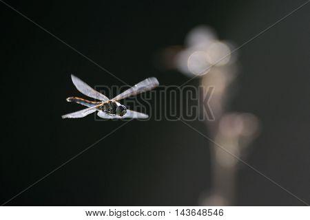 Flying dragonfly Vagrant darter (Sympetrum vulgatum). Kaluga region Russia