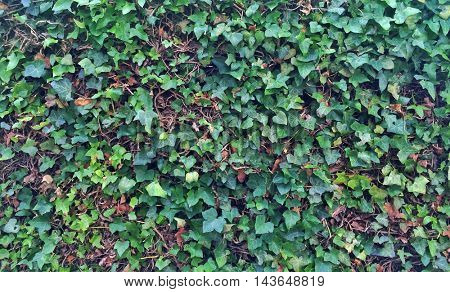 English ivy background texture