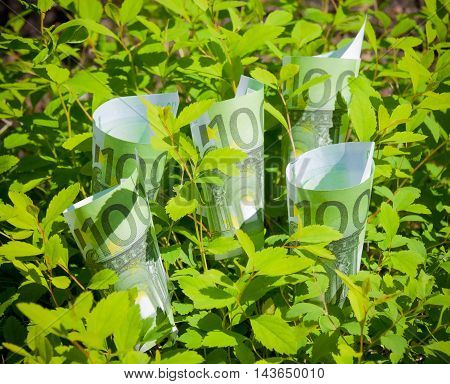 Growing euros in green leaves. Selective focus