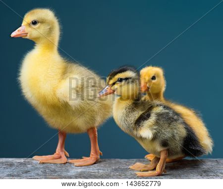 Cute little newborn duckling and gosling on dark background, standing on wood. Newly hatched birds on a chicken farm.