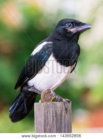 Magpie thief stealing a coin - one euro. Bird with money on green background.