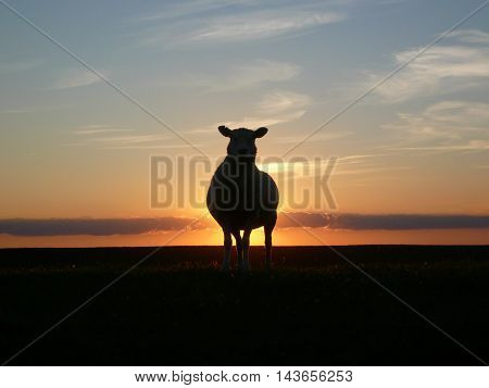 a beautiful silhouette with sheep. a sheep can be seen in detail at sunset