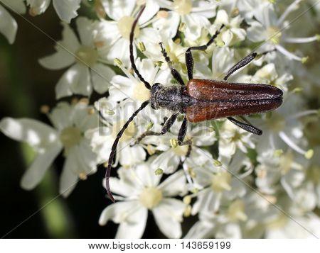 A Longhorned Flower Beetle (Trachysida mutabilis) on white flowers