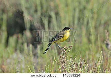Perching Black-headed Wagtail (Motacilla feldegg) at summer meadow. Turkey