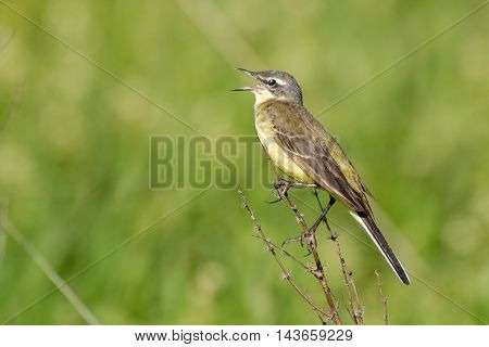 Perching crying female Yellow wagtail (Motacilla flava) at summer meadow. Near Moscow Russia