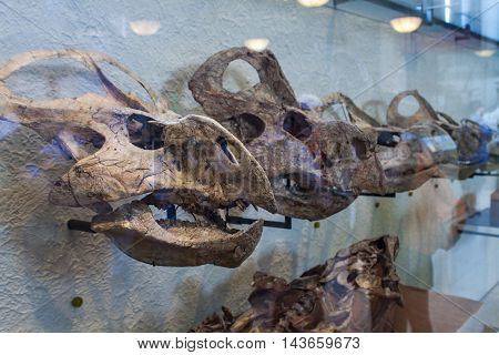 Protoceratops In American Museum Of Natural History